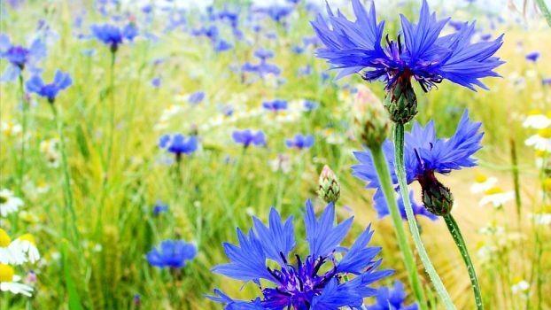 Die blaue Blume in der DDR